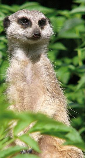 Amusing meercat