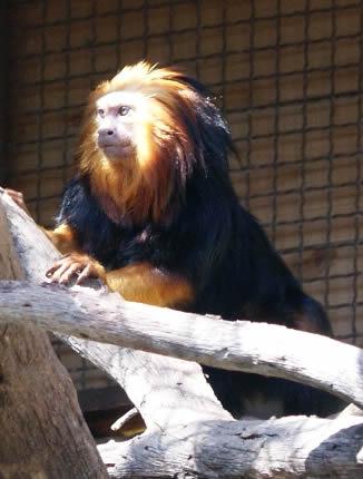 cabeza-leon