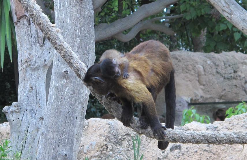 criacapuchino