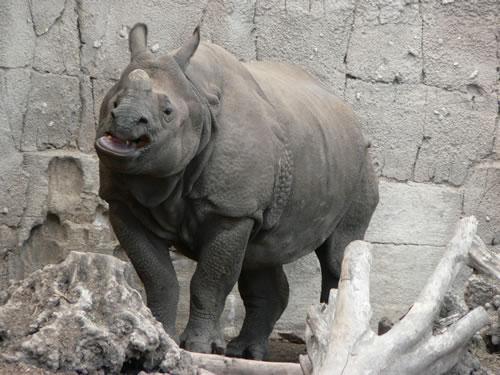 indianrhino