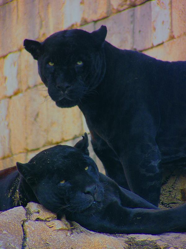 jaguarsunset