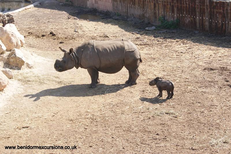 rhinocalf1
